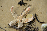 Starfish, Randalls Bay Beach